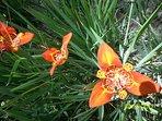 Flores en el jardín. Una especie de orquídeas.