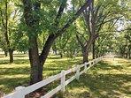 side yard and pecan grove