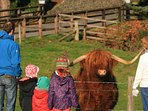 Highland cows on the Blair Castle Estate are always popular
