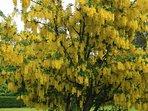 The laburnum tree in bloom in the garden