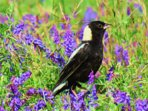 Bobolink in grasslands. We farm to promote their breeding habitat