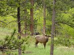 Elk Wandering Through Grazing by the shed