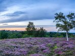 Heather flowering in the forest - NIc LUcas