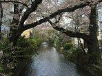 Takasegawa River for Cherry blossoms