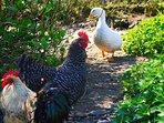 Our Chicken & Ducks plenty of Eggs for all