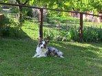 Nuvola, our Australian Sheperd