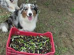The Olive Harvest - Gingi helps too!