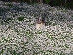 Gingi in a daisies sea