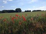 Poppy field down the road