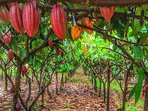 Stroll in the cacao orchard and see where chocolate comes from.