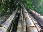 Explore our massive 100' tall timber bamboo down by our river.