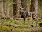 A herd of rare wild mouflon live close by