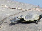 Endangered Blandings turtle sunning on the dam.  Turtles come up in June to lay their eggs.