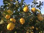 Nos véritables citrons de Menton