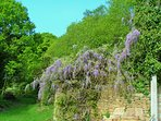 Couetilliec Cottages; Wisteria in June - clambering over the ruined cider mill