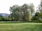 Large willow tree in back yard.
