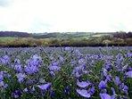 Linseed fields