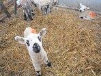 See the babies in lambing season