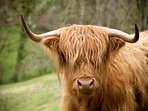 Our Highland Cattle