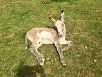 Baby Donkey Sunbathing