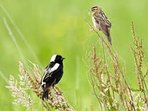 Female and male Bobolink, nesting in the surrounding fields.