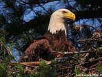 About 60 eagles nest permanently in the area.