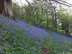 Bluebells spread out in the woods in spring