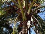 Coconut tree in Seashells garden