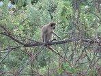 Barbados green monkey. You may be lucky enough to see a troupe pass through Seashells garden!