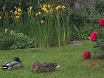 Lazy ducks by the pond