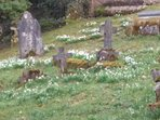 Linda churchyard is a special place for snowdrops