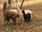 You may see llamas on our trail