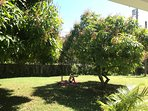 Guest relaxing on the lawn between the mango trees. Help yourself!!