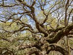 Don't forget to visit Angel Oak tree which is located on the drive in to Kiawah!