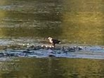 Eagles are often seen in the are and on the river fishing