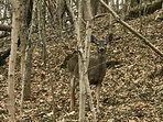 Deer are often walking on the hillside behind the house.