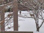 Laurel Chase Deer in Yard