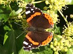 An autumn beauty, a Red Admiral on the ivy.