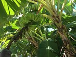 Bananas growing in our backyard