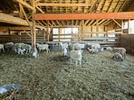 Visit the working farm next door filled with friendly goats!