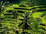 Ricefields near us