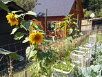 Sunflowers in the garden behind the cottage