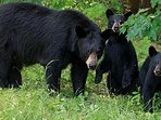 Bear and Cubs in Grass Near Woods, Not on Grounds at High Chalet