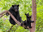 Mama Bear and Cubs in Tree, Not on Grounds at High Chalet
