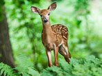 Fawn in Woods, Not on Grounds at High Chalet