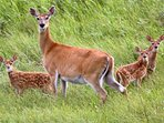 Deer Family in Grass, Not on Grounds at High Chalet