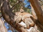 Koala at Ecopia Retreat
