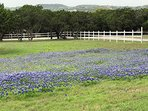 Spring Bluebonnets as Guests Enter the property.