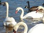 Lake Junaluska swans and geese