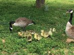 Canadian geese and babies!